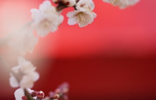 梅まつり画像