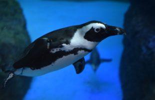 世界ペンギンの日画像