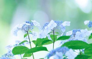 紫陽花画像