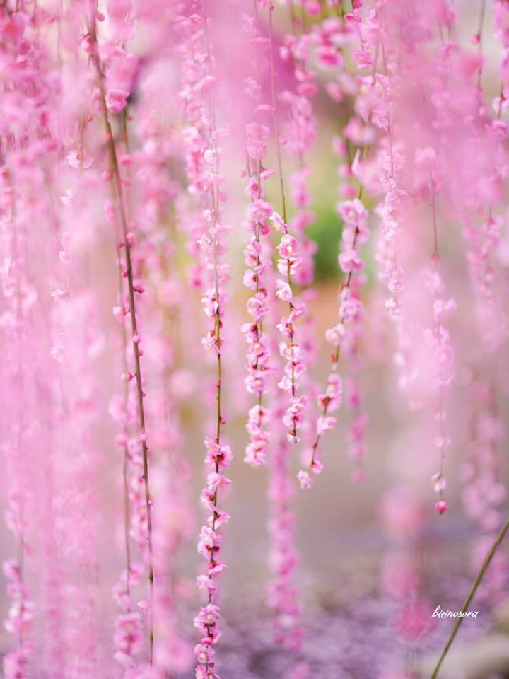 冬に咲き誇る桜画像