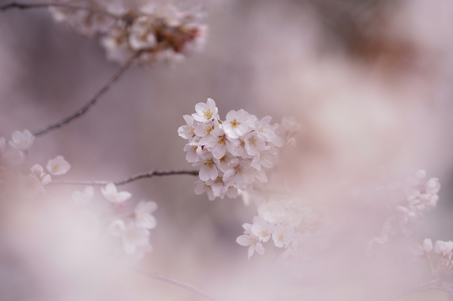 春の絨毯シバザクラ画像