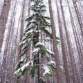 冬の柊画像