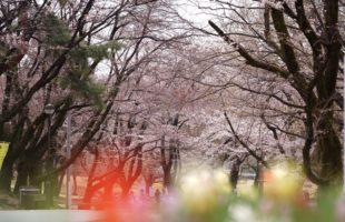 SakuraDay画像